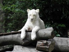 White lion 1 by JanuaryGuest