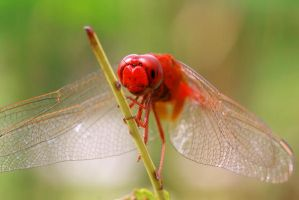 Dragonfly 15 by josgoh