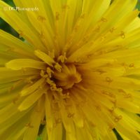 dandelions heart by animelover145