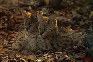 Serval Kittens by Saromei