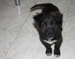 black puppy with blue eyes. by kailor