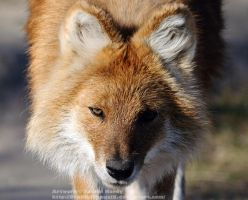 The Dhole that Hunted Me by 8TwilightAngel8