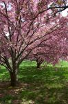 Cherry Blossoms Stock 33 by FairieGoodMother