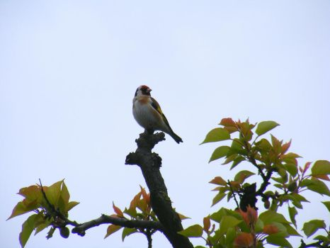 European Goldfinch by TomorrowPhotographer