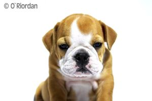 Nigel English Bulldog 4 by Seanoriordan