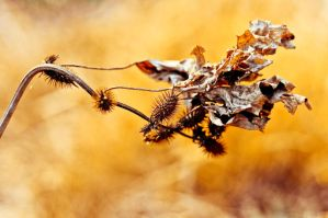 dried thorny bush by adiota