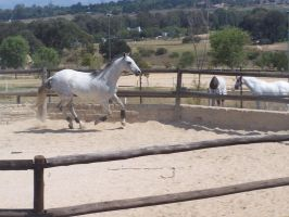 Grey Thoroughbred - 2 by horsiexstock