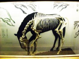 Horse Skeleton by BajiStock