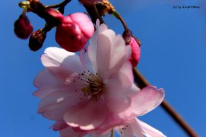 Cherry blossom 2 by bluesgrass