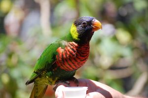 Lorikeet Feeding by kiTTeh-LuV