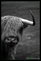 Highland_Cattle_2 by smdesign-photography