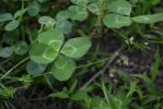 4 Leaf Clover 11 5/14/2012 by Hollys-Critters