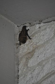 A bat that lives on my front porch by xMeisianx