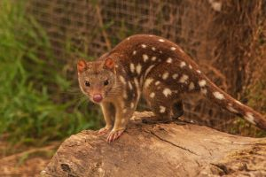 Quoll by DanielleMiner