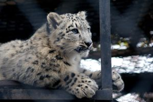 Young Irbis - Snow Leopard by Vertor