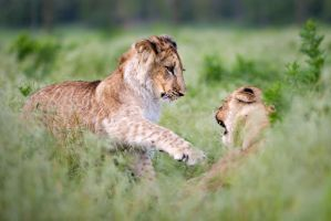 Playful battle (Panthera leo) by AlesGola