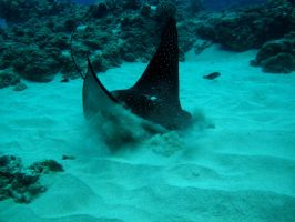 The Spotted Eagle Ray by X5-442