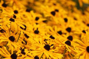 Black eyed Susans by finhead4ever