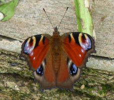 Peacock Butterfly 1 by SrTw