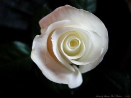 The White Rose of York by Lady-CaT