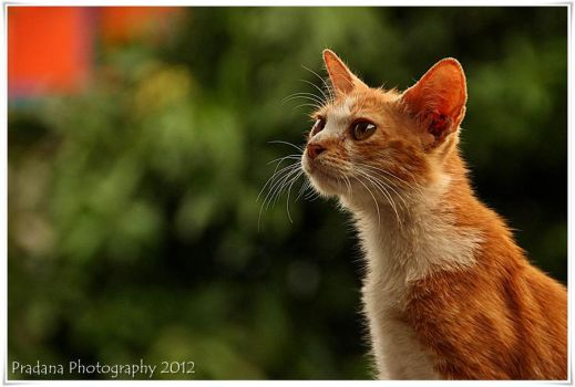 my beautiful cat 3 by rizkipradana
