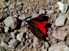 Red and Black Butterfly by bulldogstoy