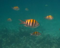 Fish - Sergeant Majors by Lauren-Lee