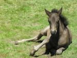 Dartmoor Pony Foal by AdoniMiah