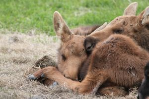 Baby Moose by pixelated-painter
