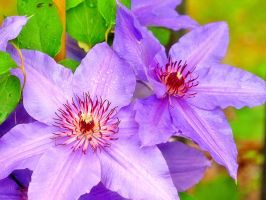 ::clematis:: by Token-One