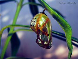 Pupa of a Common Crow butterfly by dr-malar