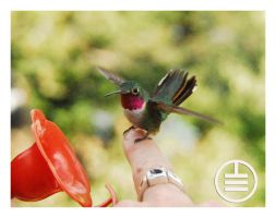Hummingbird Training 101 by manwithashadow