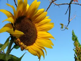 Autumn Sunflower by matpreece