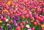 Tulips at Floriade, Canberra Australia by anthonyyager
