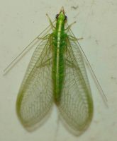Green Lacewing..,... by duggiehoo