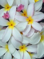 Hawaiian Plumeria by joeyartist