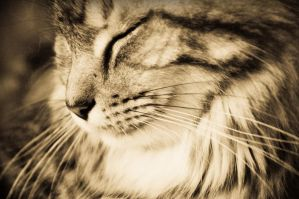 Maine coon by shaaaadow
