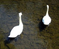 Swans 2 by Holly6669666