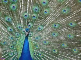 Portrait of a Peacock by ThePusch