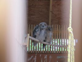 Young Great Horned Owls 2 by Windthin