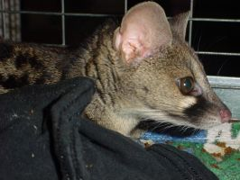 Genet 4 by animalstock