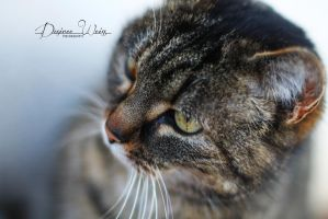 The Tabby Cat by DYWPhotography
