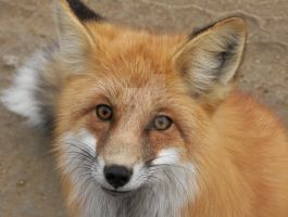Red Fox by osctar