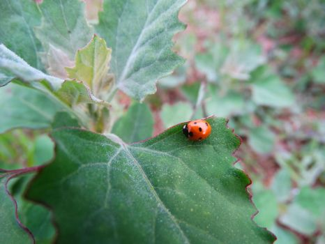 Lady Bug 1 by MyFotoYourPrint