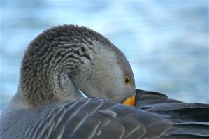 gray goose by jsimon526