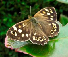 Speckled Wood by iriscup