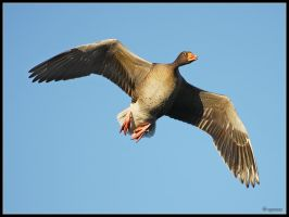 Greylag Goose by cycoze