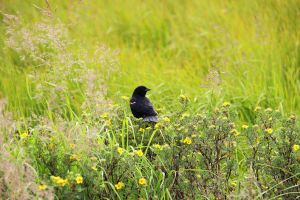 Red-Winged blackbird by TheSleepyRabbit