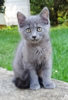Grey kitten by Emajer