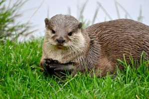Otter by Red-Smurfette